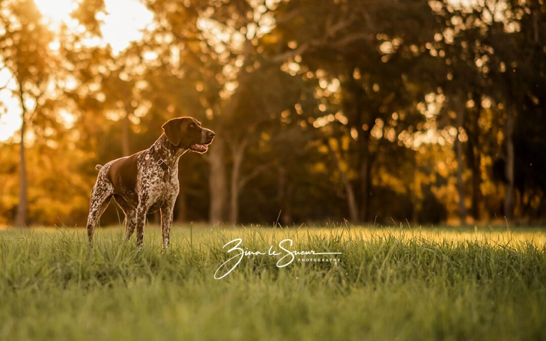 Perth Pet Photographer | Puppy love at Golden hour!
